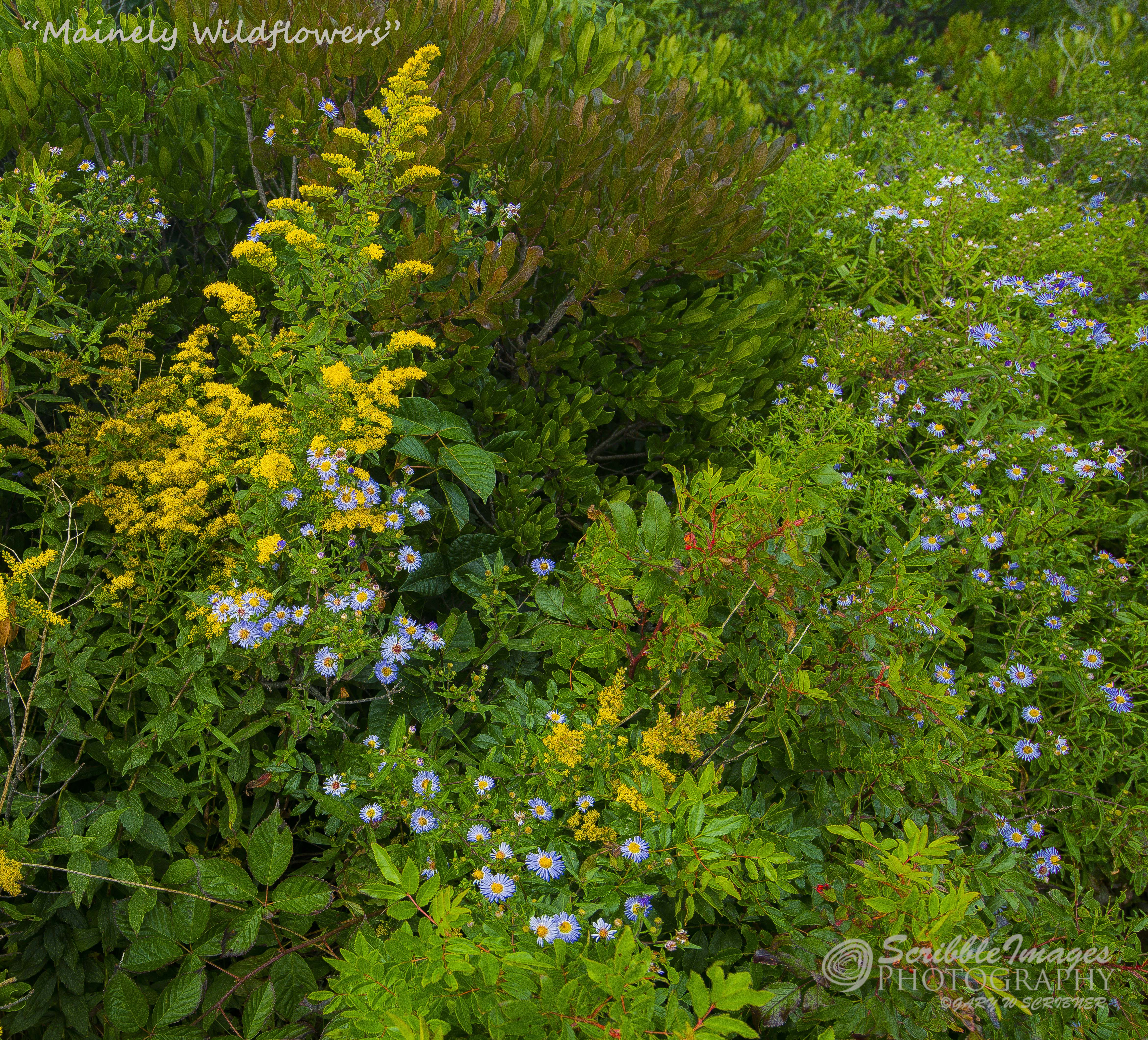 _D852700 Mainely Wildflowers3-5