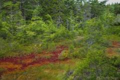 P1070446 Scarlet Forest Carpet
