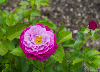Lavender Rose, Missouri Botanical Garden