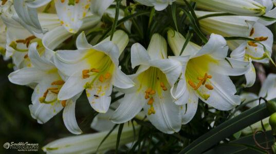 Day Lilies, Missouri Botanical Garden