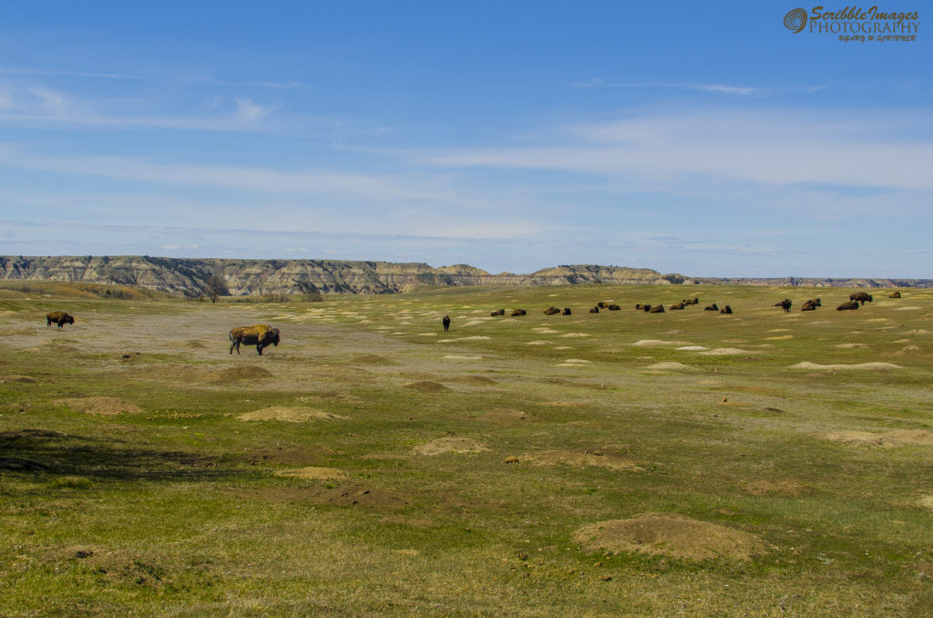 South Unit Bison and Prairie Dogs Comingle