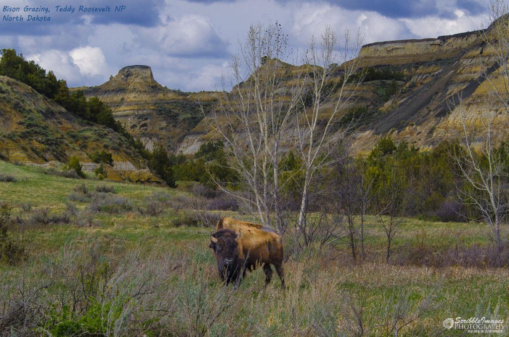 My Friend, Bison Bill