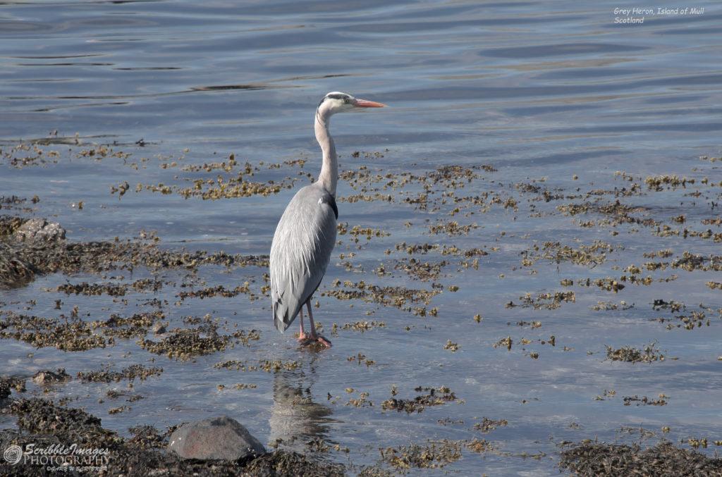 Grey Heron, Isle of Mull
