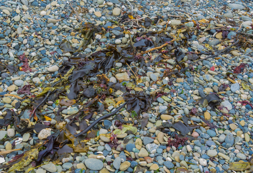 Kelp Among the Pebbles