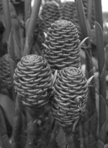 Pine Cone Imitators
