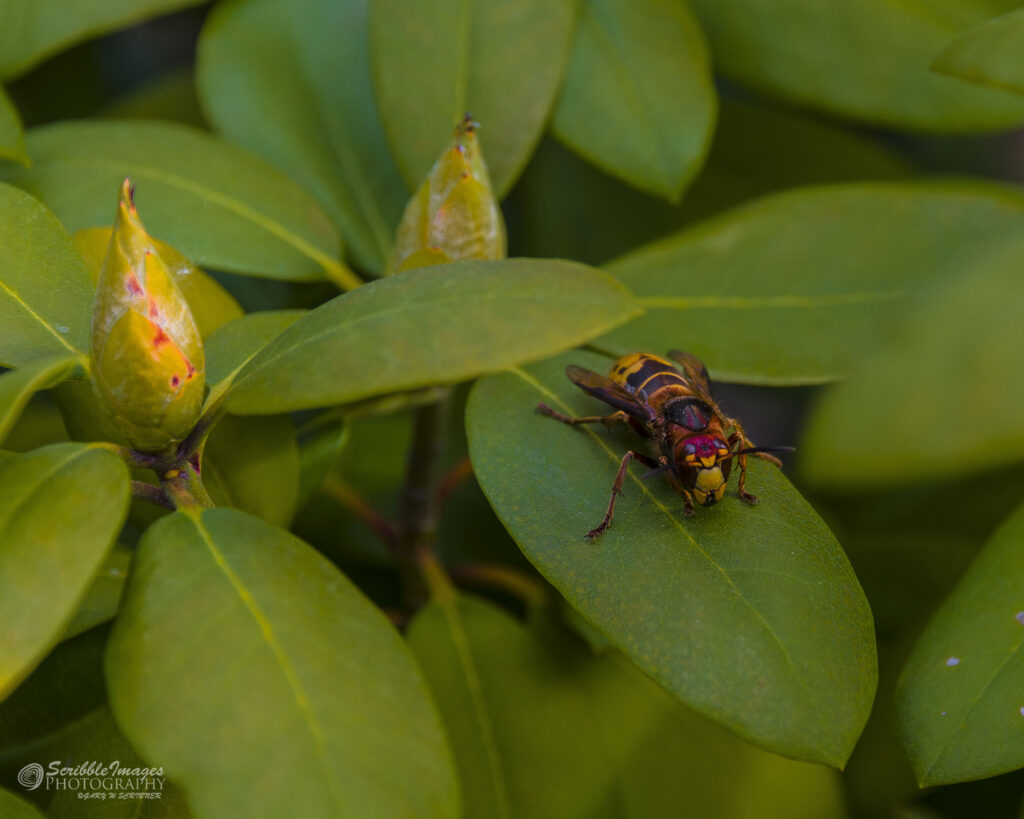 European Hornet on Leaf