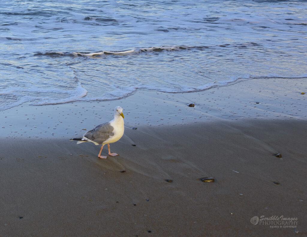 Oregon Sea Gulls