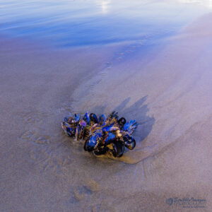 Mussels adrift on the Oregon coast