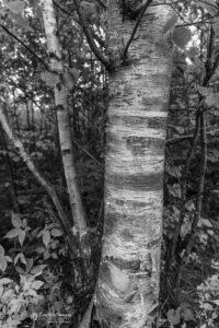 Birch Trees @Dyce Head Lighthouse