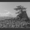 Lone Pine Tree on The Coast