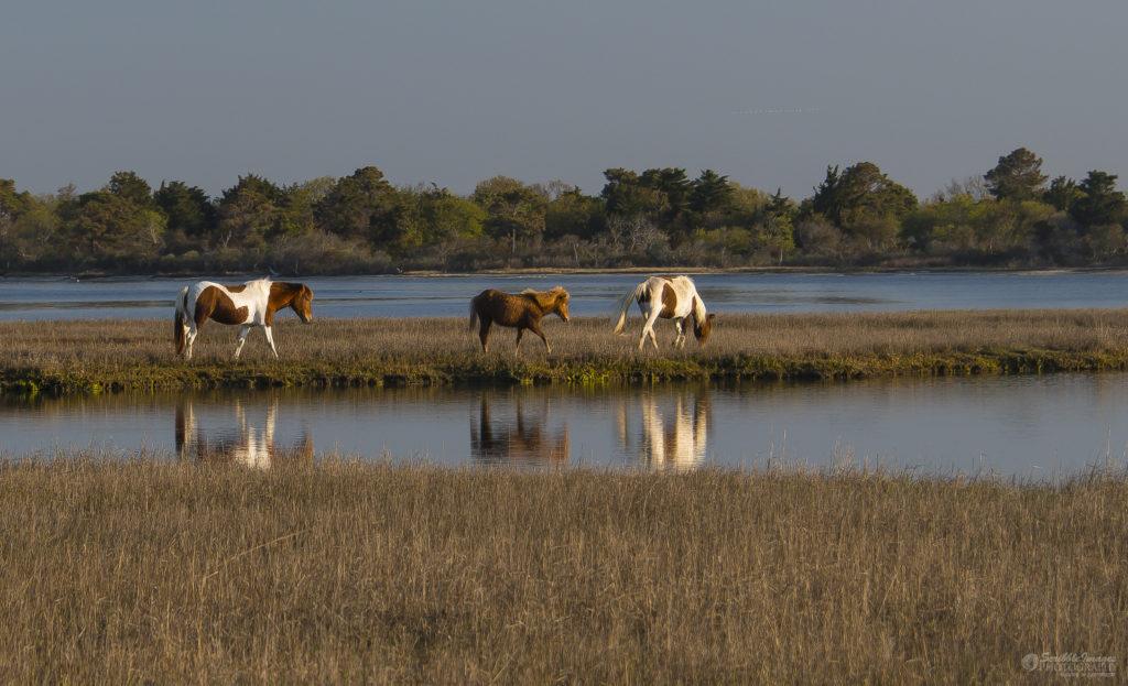 Three Chincoteague Ponies